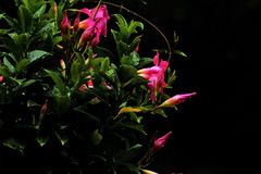The pink flower is hanging in a basket and plays a role in attracting Hummingbirds. Beautiful flowers attract Hummingbirds to your garden, especially those that stock photos