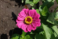 Pink flowerhead of common zinnia from above Stock Photos