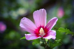 Pink flower hibiscus Royalty Free Stock Photography