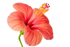 Pink flower of Hibiscus. Isolated on a white stock photo