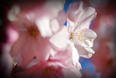 Pink Flower Hide and Seek. Apple tree blossom in Rothenburg, Germany Royalty Free Stock Photo