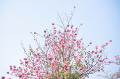 Pink flower on high tree light blue sky Royalty Free Stock Images