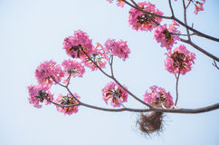 Pink flower on high tree Royalty Free Stock Photography