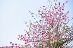 Pink flower on high tree Stock Photo