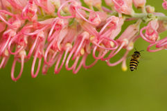 Pink flower and honey bee Stock Image
