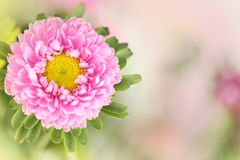 A pink flower in a horizontal presentation. A pink flower on the left side in a horizontal presentation with a blurred background and plenty of room for text Stock Photo