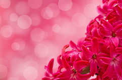 Pink flower of a hyacinth close up Stock Images