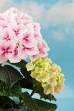Pink flower hydrangea on blue background. Royalty Free Stock Image