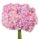 Pink flower  hydrangea (Clipping path) Stock Photo