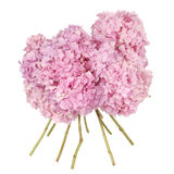 Pink flower  hydrangea (Clipping path) Royalty Free Stock Images