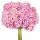Pink flower hydrangea (Clipping path) Royalty Free Stock Photo