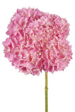 Pink flower hydrangea (Clipping path) Stock Photos