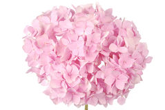 Pink flower hydrangea (Clipping path) Royalty Free Stock Photography
