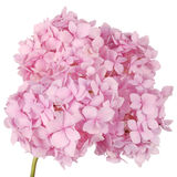 Pink flower hydrangea (Clipping path) Royalty Free Stock Photos