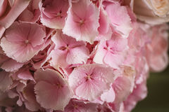 Pink flower hydrangea. Close up view of pink beautiful flower hydrangea Stock Photography