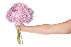 Pink flower hydrangea in hand (Clipping path) Stock Photos
