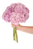 Pink flower hydrangea in hand (Clipping path) Stock Images