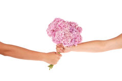 Pink flower hydrangea in hands (Clipping path) Royalty Free Stock Photo