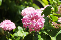 Pink flower hydrangea surrounded by green leaves Stock Photo