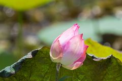 Pink flower of Indian lotus, also called sacred lotus, bean of India. Nelumbo nucifera stock images