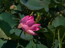 Pink flower of Indian or sacred lotus, Nelumbo nucifera, close-up in wild, selective focus, shallow DOF.  royalty free stock image