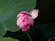 Pink flower of Indian or sacred lotus, Nelumbo nucifera, close-up in wild, selective focus, shallow DOF.  stock photo