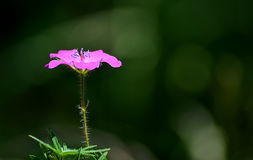 Pink flower and insect beetle Royalty Free Stock Image