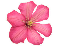 Pink flower isolated Stock Image