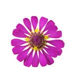 Pink flower isolated. Beautiful pink flower isolated on white background Stock Images