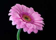 Pink Flower. Isolated pink flower on black background Stock Photography