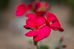 Pink flower isolated closeup shots royalty free stock photography