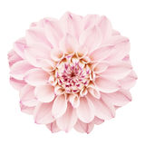 Pink flower isolated Stock Photography