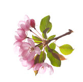Pink Flower isolated on white Royalty Free Stock Images