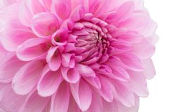 Pink flower isolated on white background with clipping path Stock Image