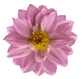 Pink flower on  isolated white isolated background with clipping path.  Closeup. Beautiful  Pink  flower for design. Dahlia. Nature Royalty Free Stock Photo