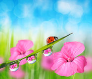 Pink flower and ladybug on fresh green spring grass with dew drops Stock Images