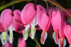 Pink flower. Lamprocapnos/Dicentra-Bleeding Heart Stock Photos