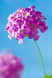 Pink Flower - Lantana Montevidensis Royalty Free Stock Photo