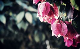 Pink, Flower, Leaf, Branch royalty free stock images