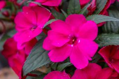 Pink flower with leaves. Beautiful pink flower with pedals and green pointy thick leaves stock photo