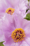 Pink flower and leaves of peony Stock Images