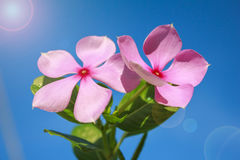 Pink flower and lens flare Stock Image