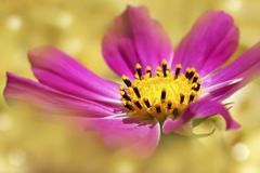 Pink flower on a light yellow blurred background. Soft focus. Close-up. Royalty Free Stock Image