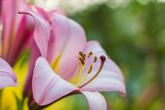 Pink flower lily. In lily stamens insect collects nectar Stock Photo