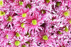 Pink flower with long thin petals & a yellow center. Stock Photos