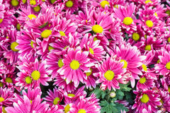 Pink flower with long thin petals & a yellow center Stock Photos