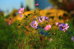 Pink flower look fresh in the morning stock photography