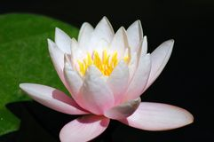 Pink flower of a lotus. Background with pink flower of a lotus stock photos