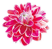 Pink flower,lotus Royalty Free Stock Image