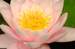 Pink flower of a lotus Stock Photo